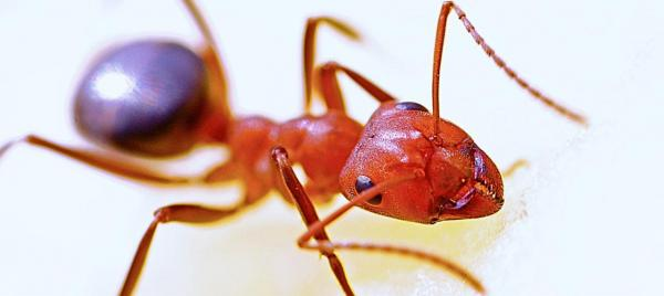 How to Kill Fire Ants