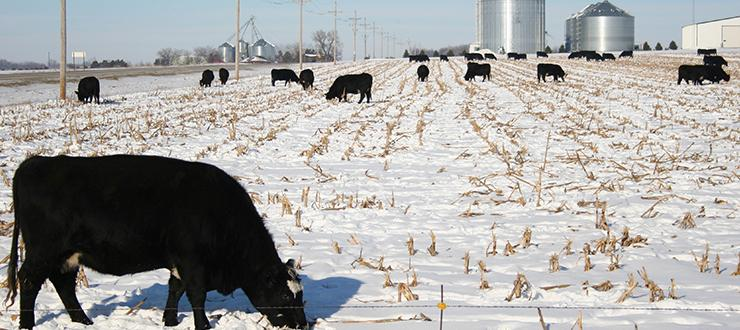 Winterizing Your Cattle with a Prine Forage Pasture