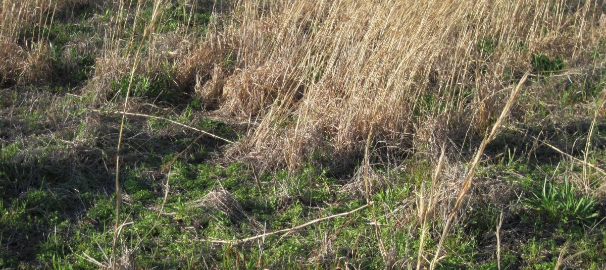 Broomsedge in Pastures