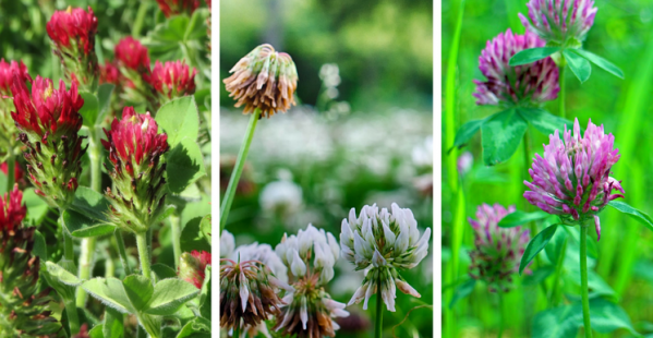 Foraging Ahead With Dr. Don Ball: Key Characteristics Of Clovers