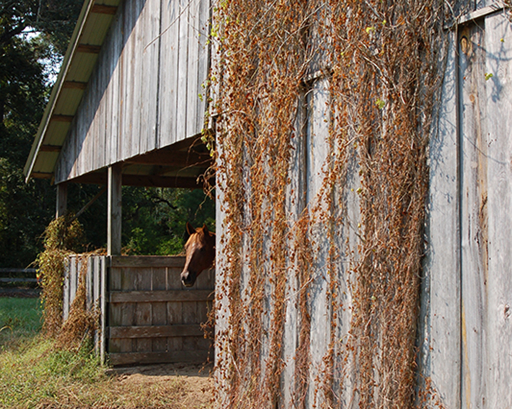 After using Total Vegetation Control, weeds on a barn are dead.