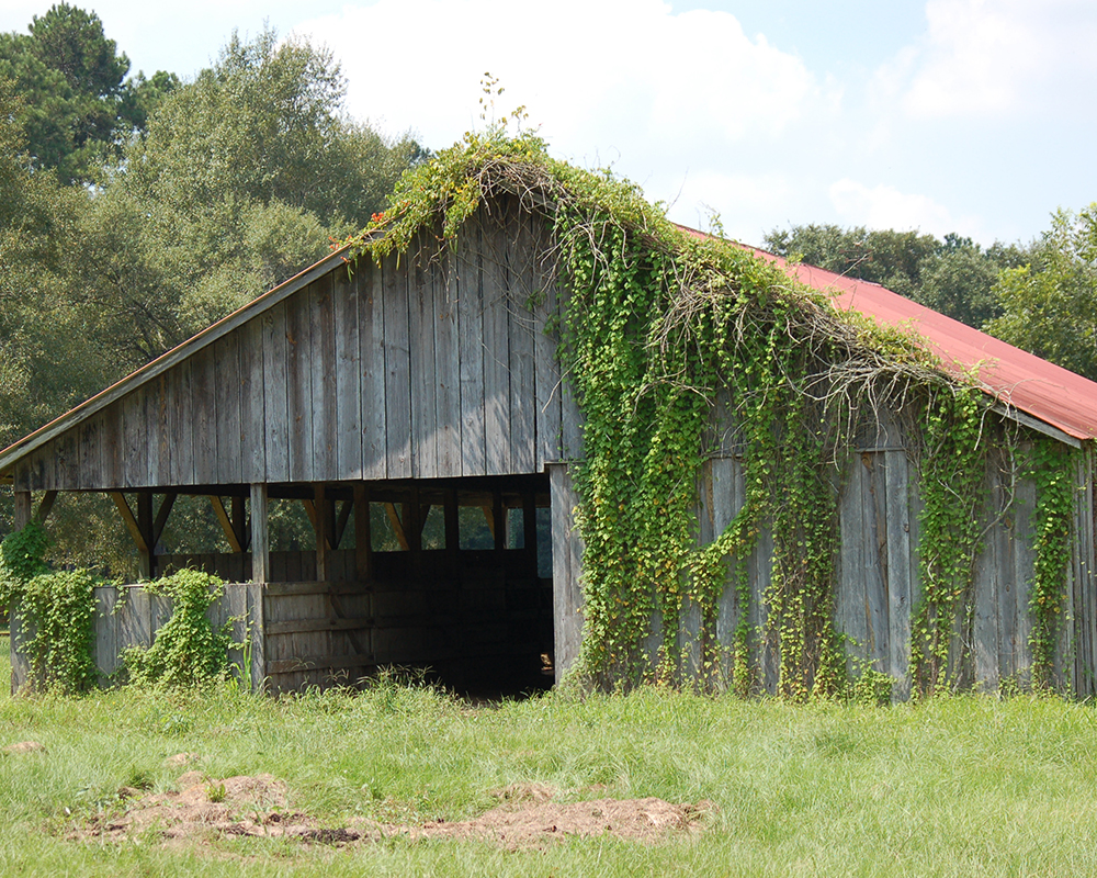 Long vines grow rampant on a barn before using Total Vegetation Control.