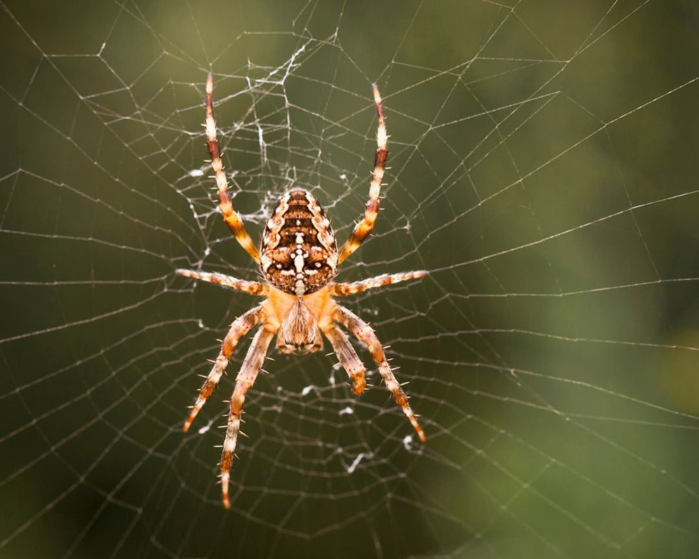 A spider sits and waits in its web