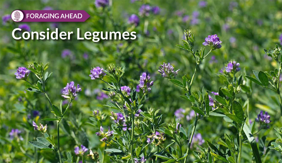 Legumes for productive pastures, by Ragan & Massey