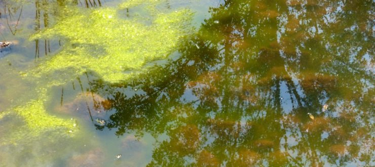 How to Get Pond Algae to Sleep with the Fishes