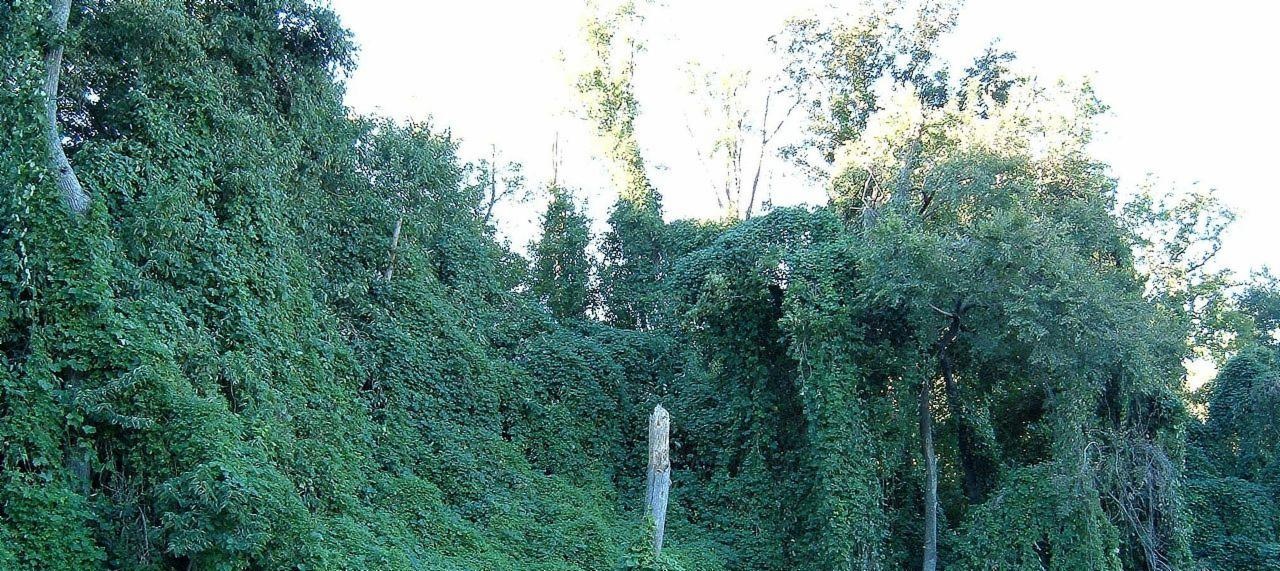 Kill Kudzu Permanently